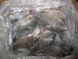 China Farm Raised Cheap Gutted and Scaled Seafood Tilapia on sale
