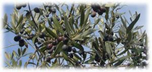 Hot Selling Machine--Electric Olive/Nut Harvester for Sale
