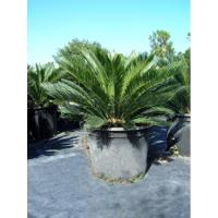 Cycas Revoluta Bulb The Sago Palm
