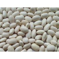 China High quality Pure White Kidney Bean Extract Wholesale, Natural White Kidney Bean Extract on sale