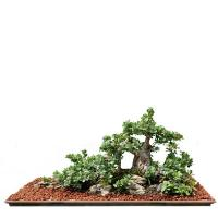 China Large outdoor ficus microcarpa Bonsai Trees on sale