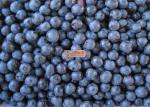 New Season Organic Frozen Fruit Blueberries IQF Wild Blueberries Frozen