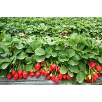 high quality freeze dried strawberry powder sample free/pure organic strawberry powder