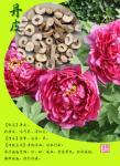 中国の卸売のpaeonol 99%のシャクヤクの吠え声のエキス--Paeoniaのsuffruticosa Andr。