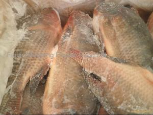 China Farm Raised Frozen Gutted and Scaled Tilapia on sale