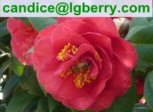 China High Quality Pure Camellia Bee Pollen on sale