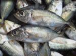 供給の最もよい淡水のナイルのイズミダイの魚