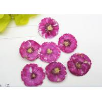 China Dye Absorption Daisy Dried Flattened Flowers , Mini Dried Flowers True Plants Specimens on sale