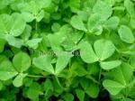 100%Purity Quality Alfafa Powder China Origin Wholesale