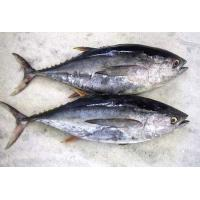 Hot sale Frozen WR Bonito Tuna Fish With Best And Competitive Prices.