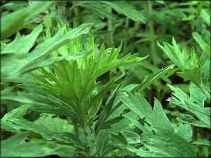 China Wormwood Oil/Blumea oil/Artemisia  Oil/Moxa leaf Oil on sale