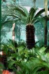 Indoor & landscape Plants (Cycas revoluta bonsai trees) The Sago Palm