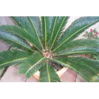 China Outdoor Gardening Cycas Revoluta bonsai trees on sale