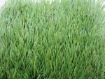 China FIFA 1 Star Football Artificial Grass with 55mm Height for School Training and Gym wholesale