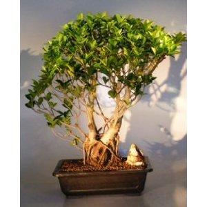 China Large outdoor bonsai trees and plants (Banyan tree) on sale