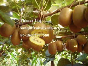 China Chinese Yellow Sun kiwi seedlings kiwi plant golden kiwi fruit seedlings on sale