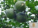Seville Bitter Orange Fruit ExtractSynephrine 6-98% HPLC Solvent Extraction