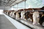 Energy-efficient Light Weight Steel Structural Framing Cowshed Systems With Single Long Span