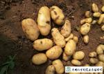 Delicious Fresh Potato Can Used As A Vegetable Or As A Staple Food