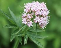 China Valerian Natural Plant Extracts 0.8% Valeric Acids HPLC Antibacterial , Antiviral on sale