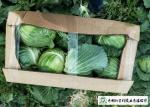 Clean Healthy Raw Green Cabbage , Small Round Cabbage No Pollution