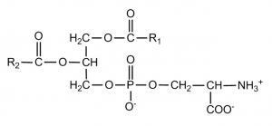 China phosphatidylserine powder,8002-43-5,cas 8002-43-5,phosphatidylserine ps on sale