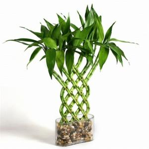 Indoor Lucky Bamboo Plant And Tree Nursery For Sale Braided
