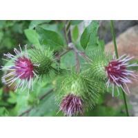 Burdock Root Extract, Burdock Fruit Extract, 10:1 TLC, Traditional Chinese Medicine, Manufacturer, Shaanxi Yongyuan Bio