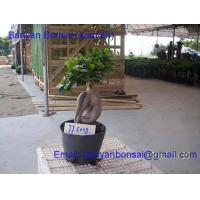 China Ficus microcarpa bonsai on sale