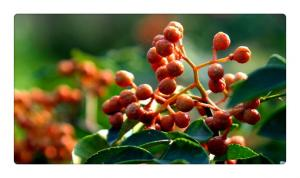 China Spices, flavor enhancers,pepper; Chinese red pepper; Chinese prickly ash; peppertree prick on sale