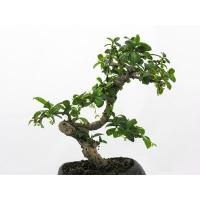 China LIVE Taiwan Ficus bonsai tree on sale