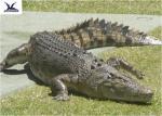 Water Park Simulation Life Size Animatronic Animal Realistic Crocodile Models