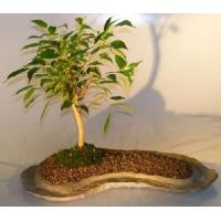 China Garden Plants--26-year-old Outdoor Ficus Tree on sale