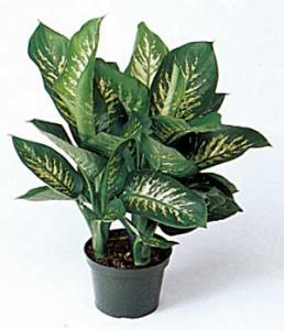 China Dieffenbachia (Tropic Sun) on sale