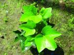 Extrait /HederanepalensisK, Kochvar.sinensis de ligue de lierre d'herbe d'hélice de Hedera de lierre commun