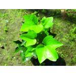 共通キヅタのヘデラ・ヘリックスのハーブのアイビー・リーグのエキス/HederanepalensisK、Kochvar.sinensis