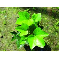 GMP factory supply Competitive price high quality Ivy leaf powder extract 1%-10%Hederageni