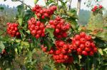 extrato secado da folha do fruto do extrato da baga do espinho com extrato da folha do espinho da flavona 5%-80%