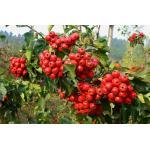 extrait sec de feuille de fruit d'extrait de baie d'aubépine avec l'extrait de feuille d'aubépine de la flavone 5%-80%