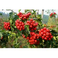 dried hawthorn berry extract fruit leaf extract with flavone 5%-80% hawthorn leaf extract