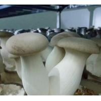 China Fresh King Oyster on sale