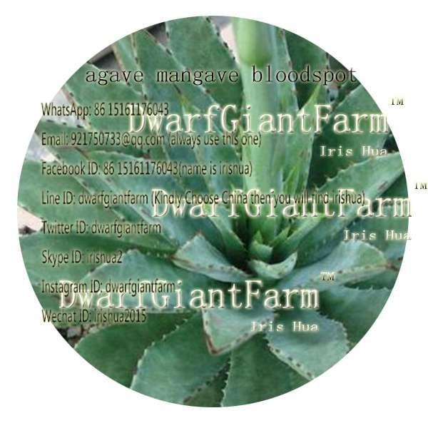 50pcs a set Mexico Agave Mangave Bloodspot, Married To Plant Seed