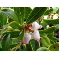 China 2017 Uva Ursi Extract/ Arbutin 99%/ bearberry extract/ Vaccinium Myrtillus Leaf Extract on sale