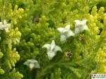 acide 65% d'extrait-wellic de serrata de Bosboswellia de phytothérapie - carterii Birdw de Boswellia.