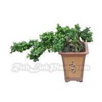 China Bonsai Tree Ficus Retusa Microcarpa on sale