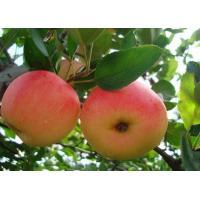 2013 New fresh red fuji apple, organic apple green plant