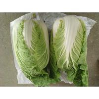 Organic Green Flat Head Cabbage With Japan Standard HACCP&GAP Standard