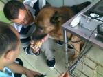 """10,1 """"puntas de prueba rectales lineares veterinarias del analizador 5.0MHz del ultrasonido de TFT LCD"""