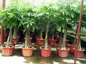 House Plant Money Tree Pachira For Sale Pachira Macrocarpa