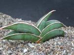 mini bonsai sansevieria indoor plants